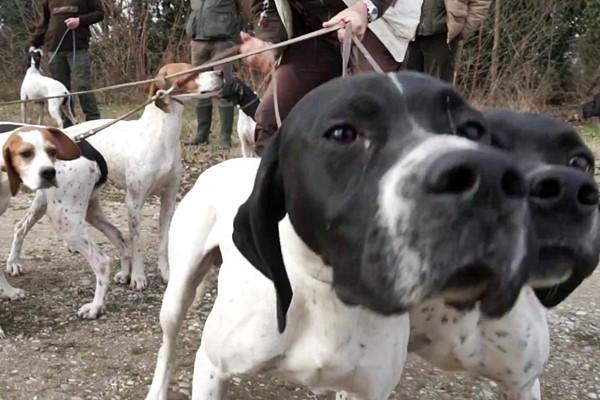 muta di cani da caccia