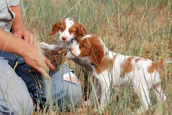 addestrare il cucciolo per la caccia