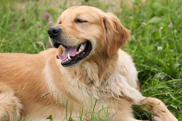 Cani da riporto: quali sono? Elenco di tutte le razze per questo tipo di caccia