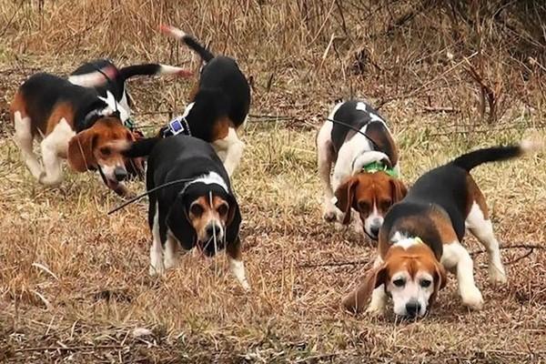 gruppo di beagle che caccia