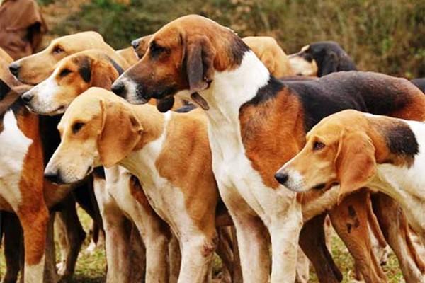 cani di razza foxhound