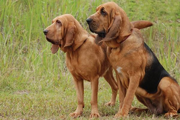 due esemplari di bloodhound