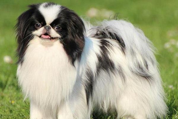 cane spaniel giapponese