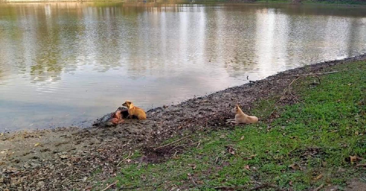 cani salvano donna