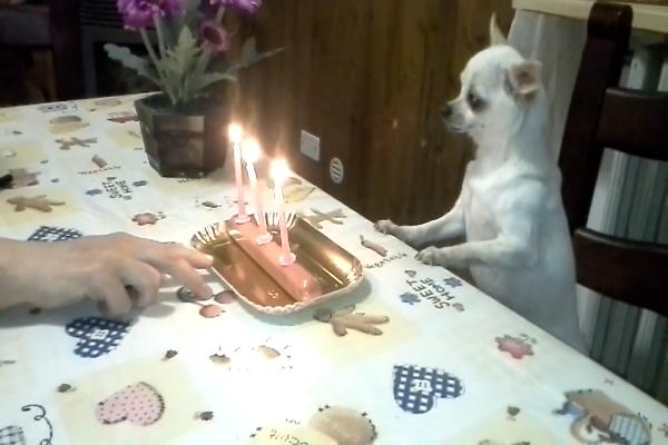 La piccola Chihuahua Camilla fa il compleanno (VIDEO)