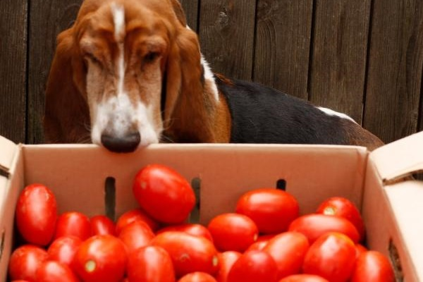 cane non può mangiare pomodori verdi