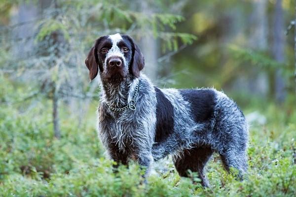 Come scegliere il cane da caccia? Tutto ciò che lo rende un alleato infallibile