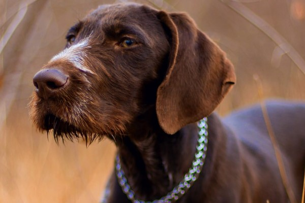 cane di colore marrone cioccolato