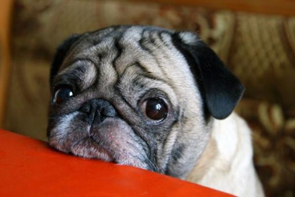 cane con il musetto triste