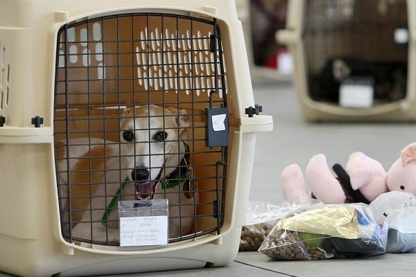cane levriero nel kennel