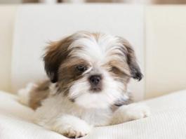 cuccioli di Shih Tzu salute