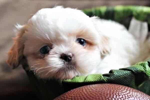 cucciolo di colore bianco