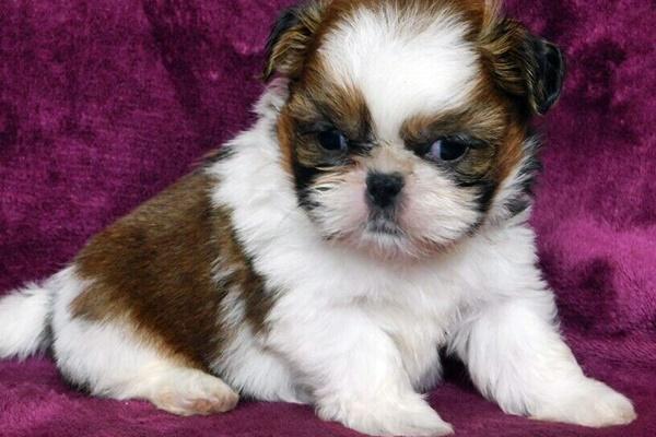 cucciolo di cane piccolo
