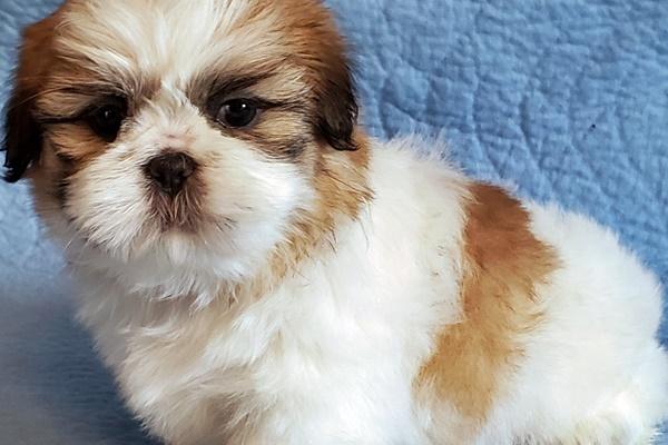cucciolo bianco e marroncino