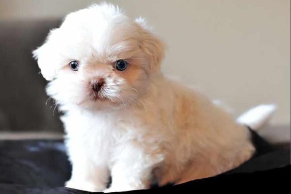 cucciolo con il pelo bianco
