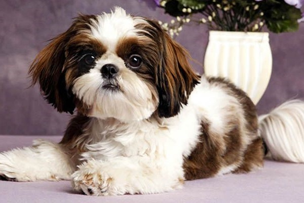 Cuccioli di Shih Tzu: come pulirli e toelettarli alla perfezione