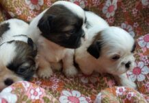 tre cuccioli di shih tzu