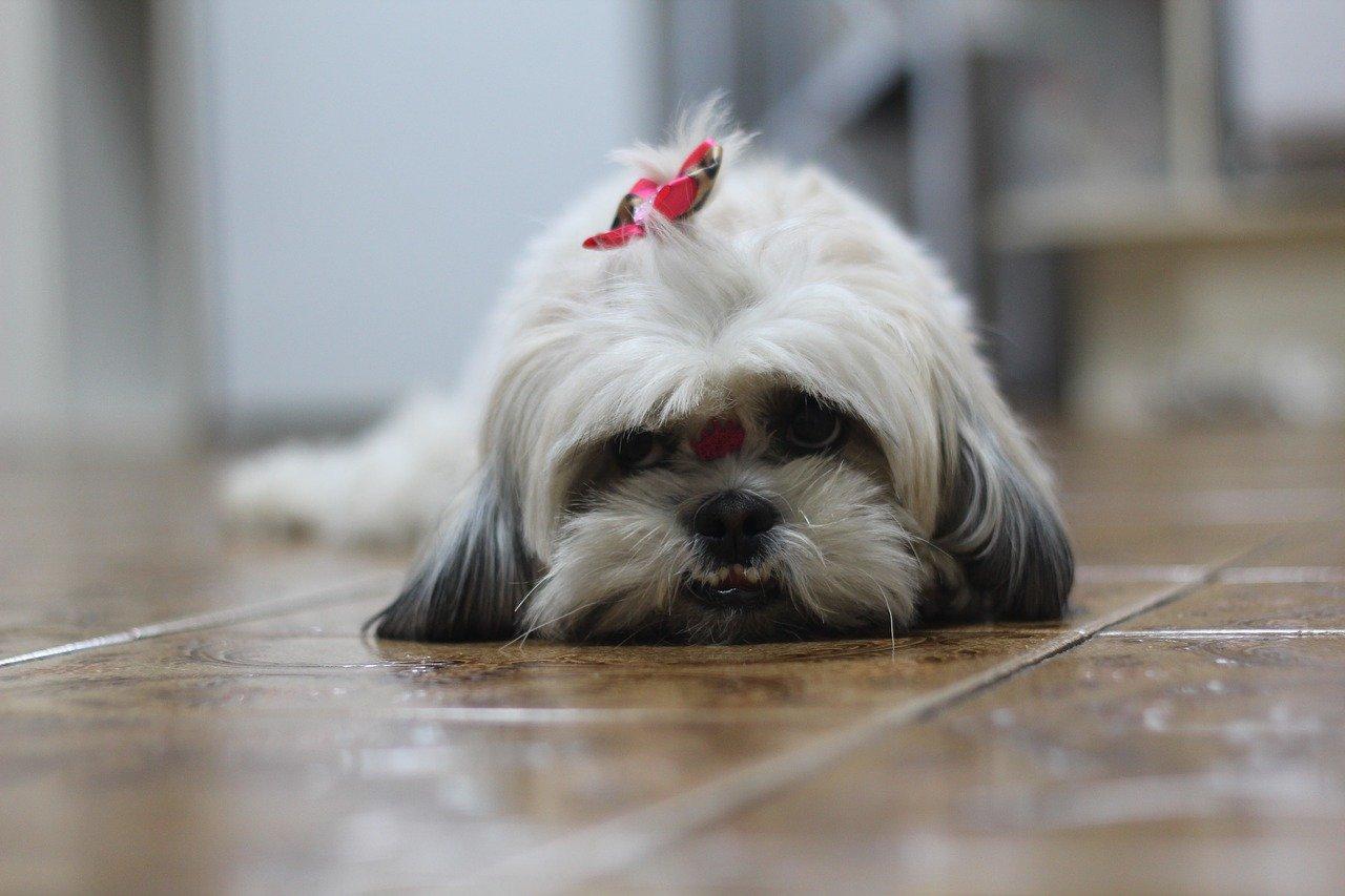 Cucciolo di Shih Tzu: come spazzolarli al meglio, passo per passo