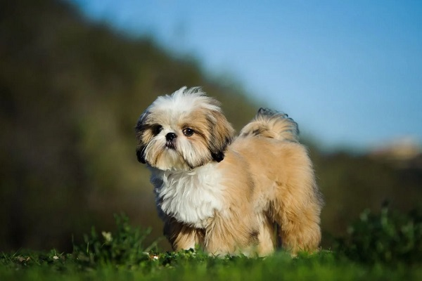 Cuccioli di Shih Tzu, pelo e accortezze specifiche: come curarlo al meglio