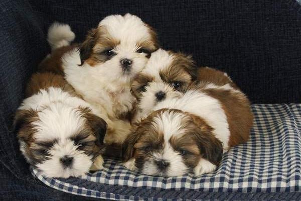 Cuccioli di Shih Tzu, vaccini e accortezze per la loro salute sin da piccini