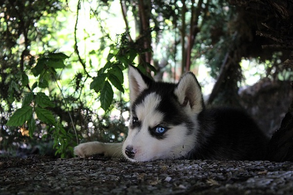piccolo husky con occhi azzurri