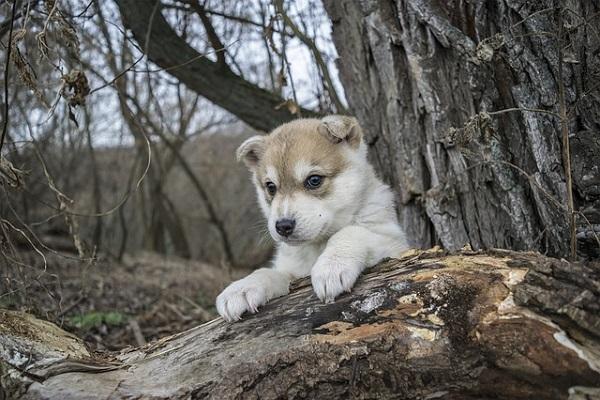 cucciolo di husky su albero