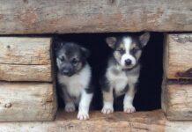 cuccioli di husky dentro casetta di legno