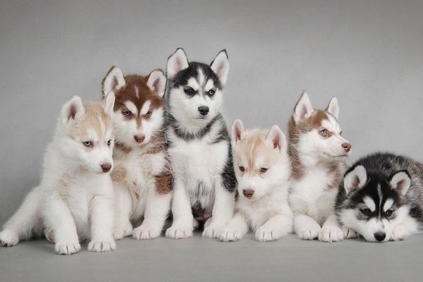 sei cuccioli di husky su sfondo grigio