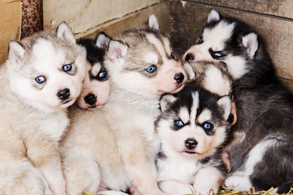 cinque cuccioli dagli occhi azzurri