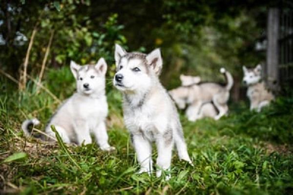 cagnolini husky su un prato
