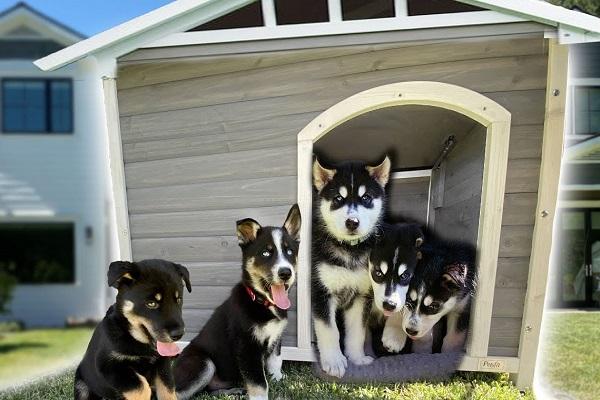tanti cuccioli di husky vicino a una cuccia