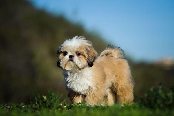 cucciolo di Shih Tzu salute