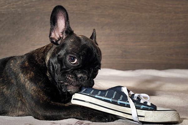 bulldog francese mastica una scarpa