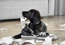 cane che distrugge gli oggetti