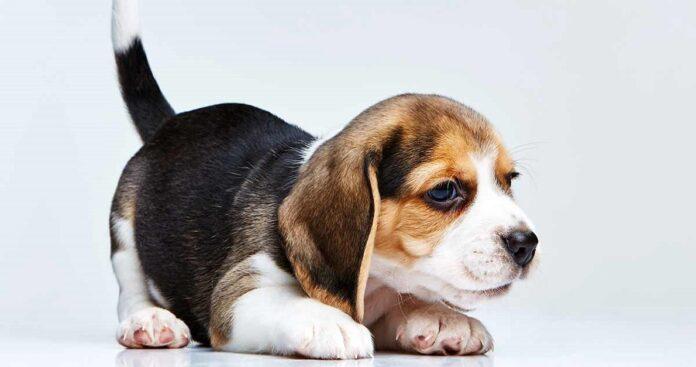 cucciolo di cane sdraiato