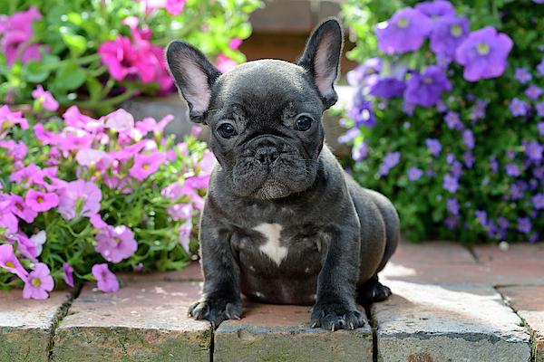 cucciolo di bulldog francese su un gradino