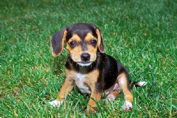 cucciolo di beagle su un prato