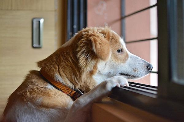 cagnolino guarda fuori dalla finestra
