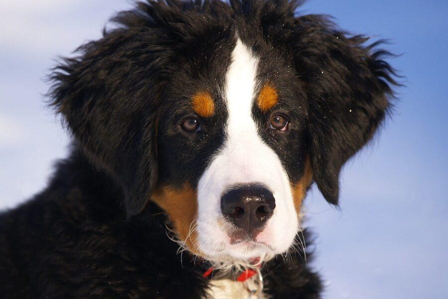 pastore del bernese cucciolo