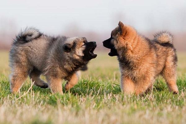 Cucciolo di cane ringhia sempre: cosa può significare?