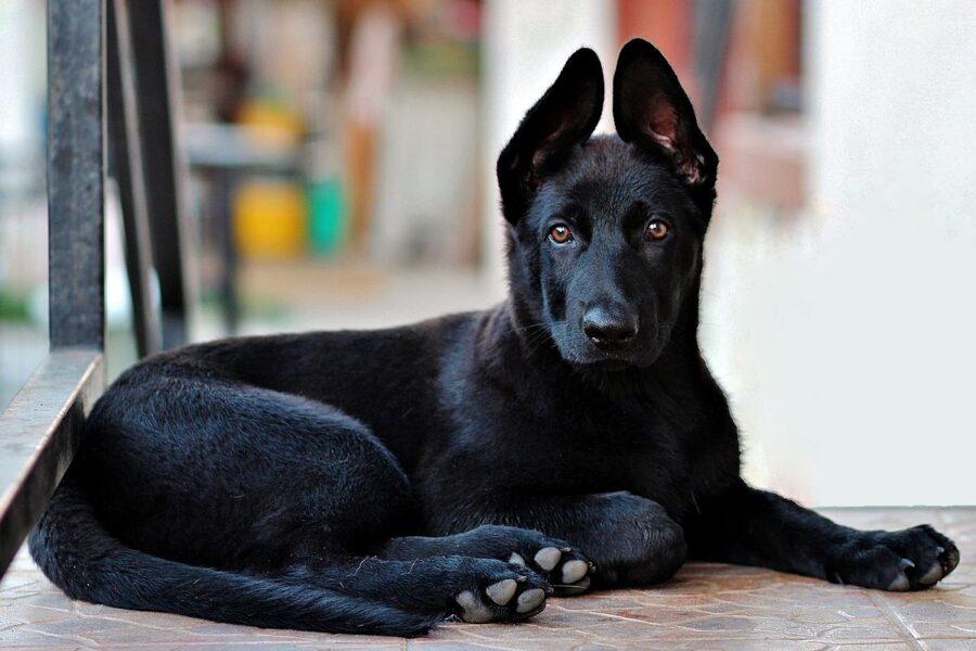 cucciolo di pastore tedesco nero
