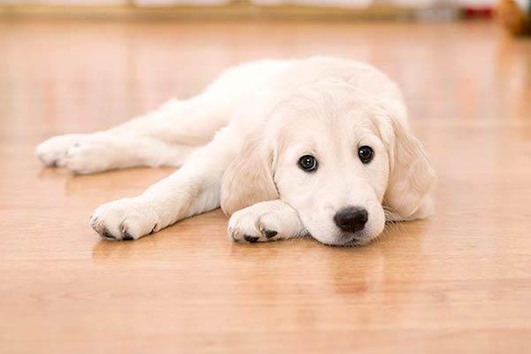 Cucciolo di cane scivola sul pavimento: che problemi può avere?