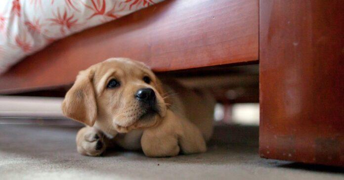 cucciolo si nasconde sotto al letto