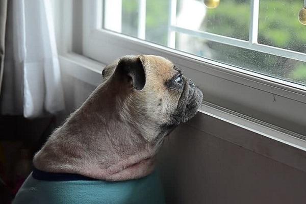 cane con pettorina verde guarda fuori dalla finestra