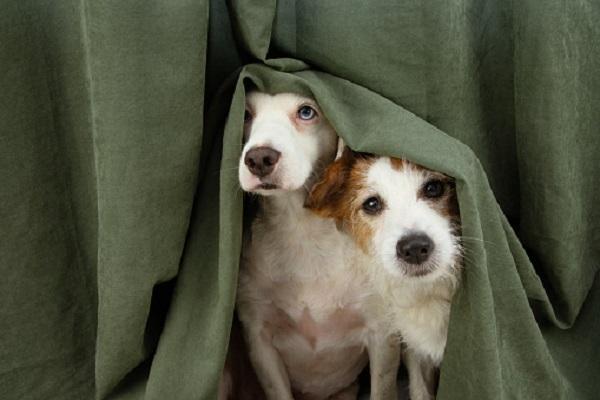 due cani si nascondono dietro una tenda
