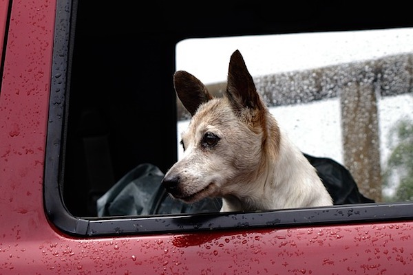 cucciolo di cane guarda pioggia da finestrino