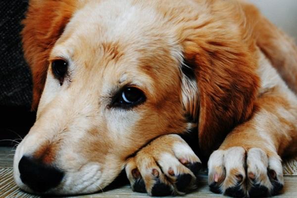 Cucciolo di cane tossisce sempre: quali possono essere le ragioni e cosa fare