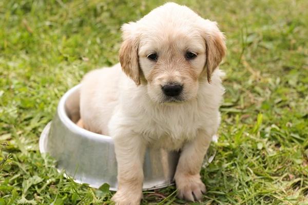 cucciolo di labrador nella ciotola