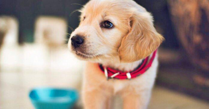 cucciolo di cane color miele