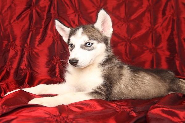 Cucciolo di Siberian Husky accaldato: i metodi per farlo stare meglio